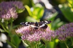 Ladoga Camilla sur la fleur spectabile de sedum Photographie stock libre de droits