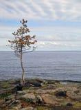 Ladoga Lake. Lonely tree on the background of Ladoga Lake Stock Photo