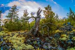 Ladoga lake. Old tree on island on Ladoga lake Stock Images