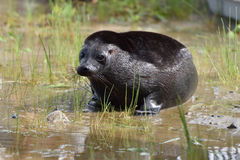 Ladoga ringed seal Royalty Free Stock Photo