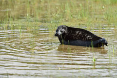 Ladoga ringed seal Stock Images