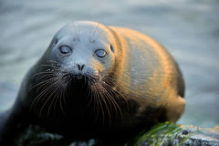 The Ladoga ringed seal ( Pusa hispida ladogensis) close up. Stock Photo