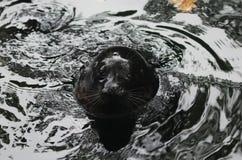 Ladoga upierścieniona foka, Pusa hispida ladogensis obraz stock