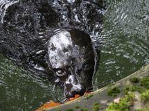 Ladoga upierścieniona foka, Pusa hispida ladogensis zdjęcie royalty free