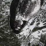 Ladoga upierścieniona foka, Pusa hispida ladogensis obrazy stock