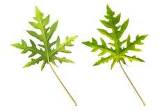 Lados dos leaf´s da papaia Imagens de Stock Royalty Free