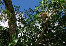 Ladrões do macaco Imagem de Stock