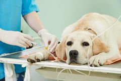 Ladrador-Hund unter Schutzimpfung in der Klinik stockbilder