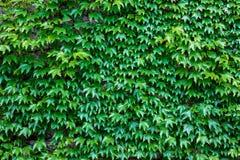 Ladrillo de la pared cubierto por las hojas verdes Fotografía de archivo libre de regalías