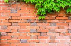 Ladrillo rojo e hiedra en fondo de la pared Imagen de archivo