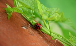 Ladybug on a Vine. A little red Ladybug on a vine Royalty Free Stock Images