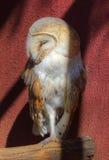 Ladugård Owl Asleep i den kalla skuggan Royaltyfri Bild