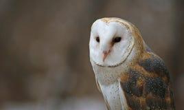 Ladugård Owl Up-Close Arkivfoto