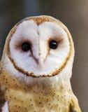 Ladugårdowlen sågs i en owlfristad och en fågel av rovmitten Arkivbild
