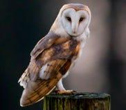 Ladugårdowlen sågs i en owlfristad och en fågel av rovmitten Royaltyfria Foton