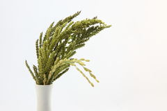 ladugårdöron gräs rice Royaltyfri Foto
