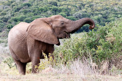 Lady .. African Bush Elephant. The African bush elephant is the larger of the two species of African elephant. Both it and the African forest elephant have in royalty free stock photography