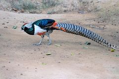 Lady Amherst's Pheasant. The close-up of male Lady Amherst's Pheasant. Scientific name: Chrvsolophus amherstiae royalty free stock photos