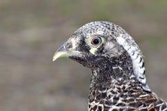 Lady amherst pheasant Stock Photos