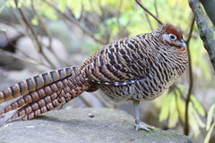Lady Amherst's Pheasant Stock Image