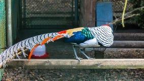 Lady Amherst`s pheasant, Chrysolophus amherstiae Stock Image