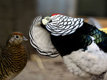 Lady Amherst's Pheasant Stock Image