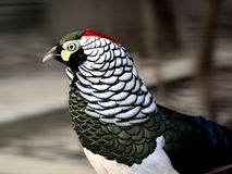 Lady Amherst's Pheasant Royalty Free Stock Image