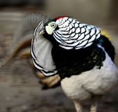 Lady Amherst's Pheasant Stock Photography