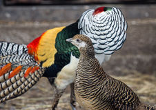 Lady Amherst`s pheasants in nuptial dance. Male and female of the Lady Amherst`s pheasant in nuptial dance stock images