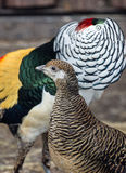 Lady Amherst`s pheasants in nuptial dance. Male and female of the Lady Amherst`s pheasant in nuptial dance royalty free stock photo