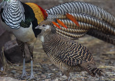 Lady Amherst`s pheasants in nuptial dance. Male and female of the Lady Amherst`s pheasant in nuptial dance stock image