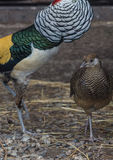 Lady Amherst`s pheasants in nuptial dance. Male and female of the Lady Amherst`s pheasant in nuptial dance royalty free stock images
