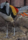 Lady Amherst`s pheasants in nuptial dance. Male and female of the Lady Amherst`s pheasant in nuptial dance stock photo