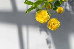 Lady Banks' roses (Rosa Banksiae Lutea) over uniform background Stock Photography