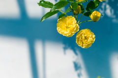 Lady Banks' roses (Rosa Banksiae Lutea) over uniform background Stock Image