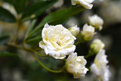 Lady Banks roses white. A close up shot of some small, white lady banks roses royalty free stock image
