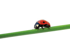 Lady be good. Ladybug on green blade of grass, on white Stock Photo