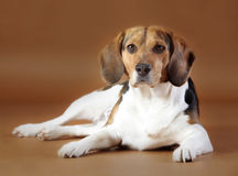 Lady beagle. Dog beagle breed female sitting in brown background Stock Photography