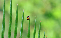Lady beetle Royalty Free Stock Photography