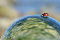 Lady beetle. A lady beetle on a ball Stock Photo