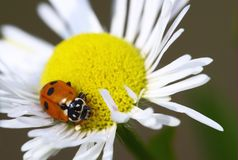 Lady-beetle Royalty Free Stock Photos