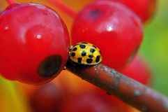 Lady Beetle Bug macro Royalty Free Stock Photography