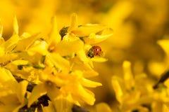 Lady beetle bug Stock Image