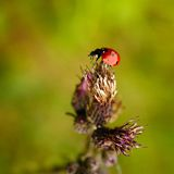 Lady beetle (Coccinella septempunctata). Ladybirds (Coccinellids) are the most-favoured insects of children Stock Image