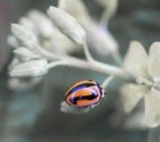 Lady beetle Coccinellidae Ladybird Stock Photo