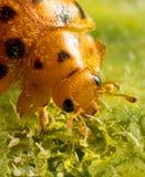 Lady beetle feeding. A lady beetle feeding on a leaf Stock Photos