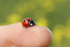 Lady beetle on a finger. Lady beetle crawling on a girls finger Stock Image