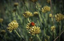 Lady beetle Stock Photo