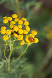 Lady beetle on flower Royalty Free Stock Photos
