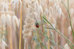 Lady beetle on gras Stock Photos